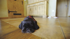 Black small dog on home floor with bow tie on head 4K Stock Footage