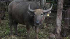 Asian water buffalo on livestock Stock Footage