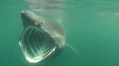 Scotland Basking Shark (Mouth wide opened) Stock Footage