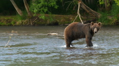 Kamchatka brown bear walking in  river Stock Footage
