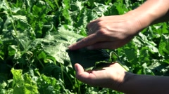 Agronomist woman in the sugarbeat field  Stock Footage