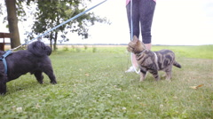 Cat and dog walk together with leash around green lawn 4K Stock Footage