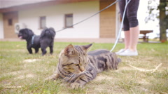 Cat not interested walking around on leash 4K Stock Footage