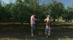 Couple  picking ripe plums from the trees and loading basket by Pakito. Stock Footage