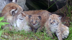 Lynx mother and her two cubs outside den Stock Footage