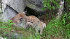 Lynx mother and cub head salute slow zoom in Stock Footage