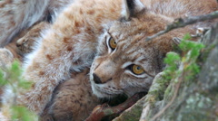Lynx mother laying in den zoom in to head view Stock Footage