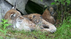 Lynx mother with cubs one behind bite small branch Stock Footage