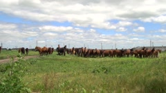 Horses grazing on a green field in the background electricity poles Stock Footage