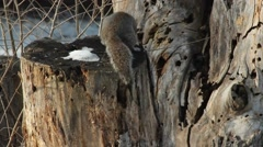 Eastern Gray Squirrel Stock Footage