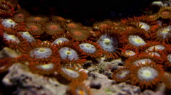 Coral Zoanthid Button Polyp timelapse Stock Footage