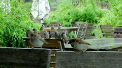 House sparrow standing on a social bench in a park on a rainy day. Stock Footage