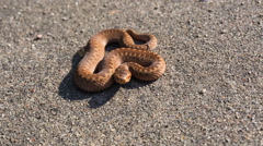 Adder (Vipera berus) basking in sunligh on sandy road. Stock Footage