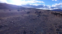 A Herd of Wild Horses with Long Shadows Stock Footage