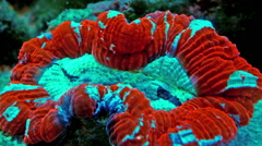 Green Folded Brain Coral Light Fades Timelapse Stock Footage