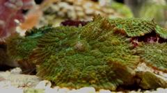 Green Mushroom coral or Mushroom Anemone Timelapse Stock Footage