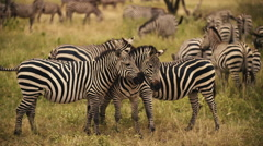 A Group of Zebras in the Wild-Slow Motion 180fps Stock Footage