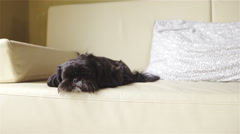 Cute black dog resting on beige sofa dolly slide 4K Stock Footage