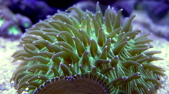 Plate Coral Macro Feeding Tenticles Timelapse  Stock Footage