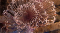 Pink Feather Duster Worm Sabellastarte indica Timelapse Stock Footage