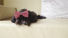 Cute black puppy removes bow tie from head 4K Stock Footage