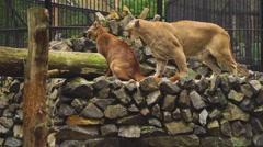 The marriage between the couple cougars Stock Footage