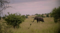 Lone Elephant in the Wild-Slow Motion 180fps Stock Footage