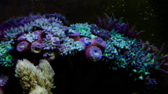 Zoanthus Colony Polyp Coral Timelapse Stock Footage