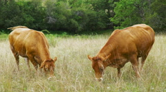 2 Cows in the Lot France Stock Footage