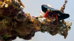 Scarlet Reef Hermit Crab Paguristes cadenati Timelapse Stock Footage