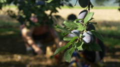Plums on the branch in focus, farmers picking fruits from the ground by Pakito. Stock Footage
