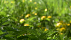 Nature. View of dandelions and nettles on meadow Stock Footage