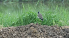 Red-wattled lapwing bird on the soil pile in the grass field Stock Footage