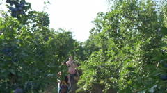 Branches full of ripe plums close up, farmers passing blurred,crane by Pakito. Stock Footage