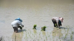 Thai people working transplanting rice cultivation on paddy field Stock Footage