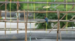 White-throated kingfisher bird knocking its pray on the bamboo and comsume Stock Footage