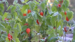 Decorative cape gooseberries with white frost. Closeup. 4K Stock Footage