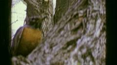 1957: Red breasted robin bird closeup in autumn tree. BATON ROUGE, LOUISIANA Stock Footage