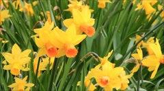 Yellow daffodils, spring, springtime, garden, narcissus, Stock Footage