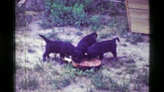 1957: 3 Puppies happily eating from large dog food bowl of chunky hotdog Stock Footage