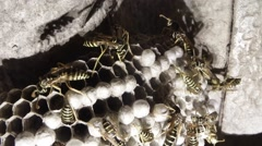 Lot of Wasps With Black and Yellow Stripes Crawling on Honeycomb Closeup Stock Footage