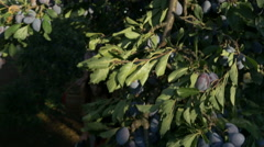 Crane shot from blue sky through the plums treetops,young farmers pass by Pakito Stock Footage