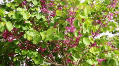 Last flowers on Judas tree in Judea at Har Hebron Stock Footage