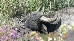 Buffalo sleeping peacefully in the afternoon Stock Footage