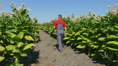 Farmer or agronomist inspect tobacco field Stock Footage