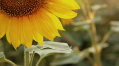 Flower head of the sunflower with bee Stock Footage