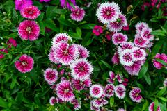 Pink flowers with green leaves for background texture. Stock Photos