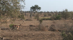 Impala (Aepyceros melampus) on the move, lock shot Stock Footage