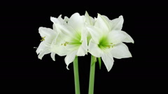 Growing and rotating amaryllis Arctic White flower, RGB + ALPHA matte Stock Footage