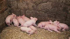 Young pigs sleeping in a pen after eating Stock Footage